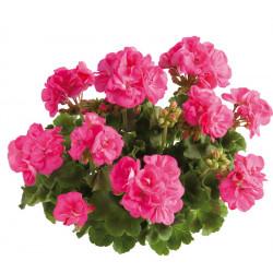 Géranium Zonal rose foncé