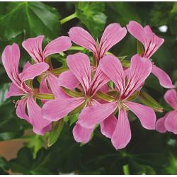 Géranium Lierre simple lilas
