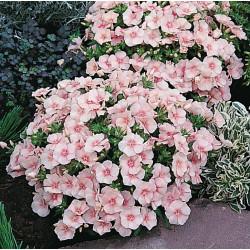 Phlox rose clair