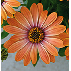 Osteospermum orange