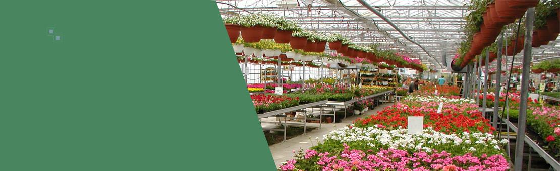 Production - Serres de géraniums en fleurs - grand choix en vente en drive à Flavy et Homblières